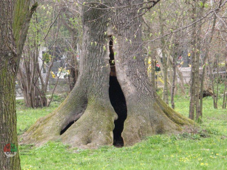 Jesion wyniosły w Parku Ołtarzewskim